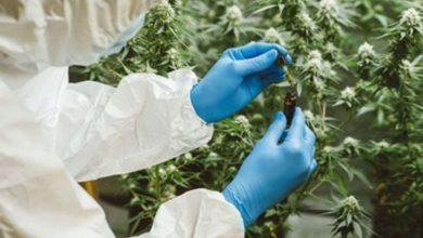 Buy Medical Marijuana Online UK